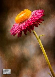 Jan Golden Solo Bloom HM Nature