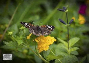 0011 BuckeyeButterfly