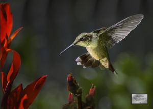 0019 BackyardHummingbird